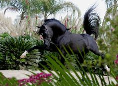 Waco, Texas. Mirajh RCA (child of Alixir) a stunning 2004 Black Stallion.  2006 Egyptian National Junior Champion Colt, 2005 Egyptian Event Egyptian Breeders Challenge Champion and a sire of multiple champions in Egypt.