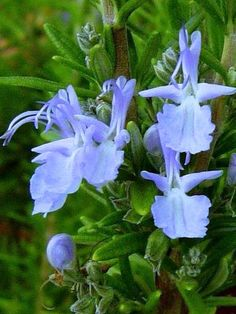 'Tuscan Blue' Rosemary. Widely considered the best variety for culinary uses. Slightly less cold-tolerant than other varieties, such as 'Arp'
