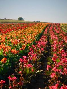 The farm has grown to over 150-acres and has the highest quality of canna bulbs in the industry.