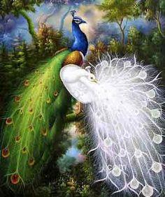 peacocks 2