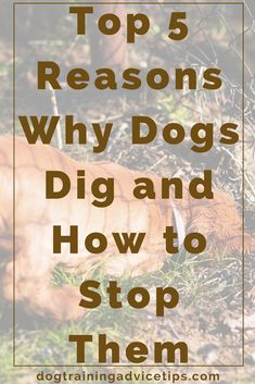 Top 5 Reasons Why Dogs Dig and How to Stop Them | Dog Training Tips | Dog Obedience Training | Prevent Dog Digging | http://www.dogtrainingadvicetips.com/top-5-reasons-why-dogs-dig-and-how-to-stop-them-2