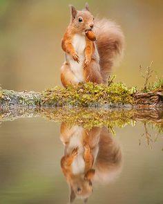 Red Squirrel by Mark Hamblin -- British Wildlife Photography Awards.