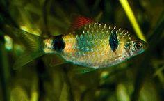 Two Spot Barb (Puntius Narayani)