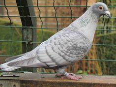 Homing Pigeons, Pigeon Breeds, Guppy, Parrot, Racing, Birds, Arabic Language, Khalid, Fish
