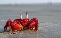 Ghost crab, Western Bengal, India