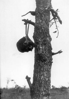 Japanese soldier's decapitated head hung on a tree branch in Burma, probably by American soldiers. 1945. Source of Photo; US National Archives.