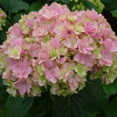hydrangea you and me together - Google Search