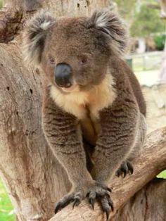 Koala que bien!