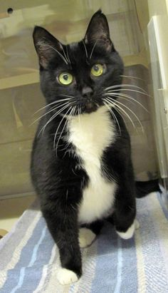 Meet Junior, a sweet tuxedo cat available for adoption at Animal Rescue League of Western PA
