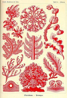 Pattern (Kunst-Formen der Natur (Art Forms in Nature), by Ernst Haeckel, Botanical Art, Nature Illustration, Botanical Illustration, Botanical Prints, Scientific Illustration, Natural Form Art, Art Forms, Art, Prints