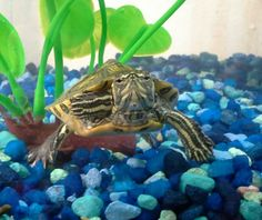 Yellow Bellied Slider Turtle- The yellow bellied slider is ...