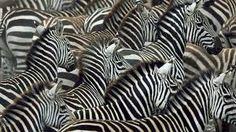 Resultado de imagen de zebras wallpaper