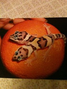 Leopard gecko 2 headed? I kinda want it but at the same time i would be to freaked out to touch it