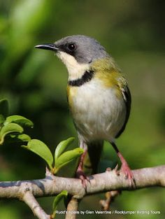 Rudd's Apalis is one of South Africa's very special birds and has an extremely limited range ~ Glen Valentine #SouthAfrica