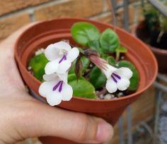 Deinostigma tamiana (formerly Primulina, also known as Vietnamese violet)