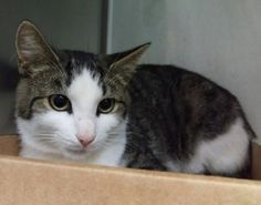 HOOK - A1091726 - - Brooklyn  ***TO BE DESTROYED 10/13/16*** HOOK AND SCAR WERE BROUGHT IN TOGETHER…THEY WOULD VERY MUCH LIKE TO LEAVE THE SAME WAY! HOOK is a 2 year old guy with a terrific, AVERAGE RATING! SCAR is a 6 month old little girl who will need someone experienced, particularly with behavior arousal. She seems to get overstimulated and can easily be remedied by a fishing pole type play that will work on that type of behavior. BOTH need a FOSTER OR ADOPTER! I