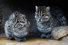 Iriomote Cat: This Japanese wildcat is critically endangered. There are fewer than 100 left living in the wild.