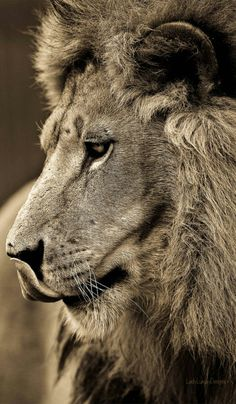 King #Ebuka #lion #nature #wild #noipic #leophante