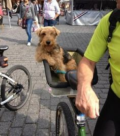 Airedale Terrier, the King of the terriers.