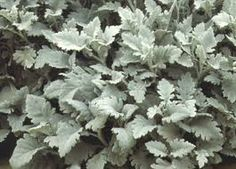 dusty miller - to bring in a touch of silver