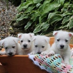 West Highland White Terrier puppies!! they so cuteeee :)