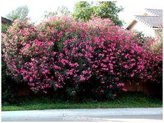Nerium oleander is a Salt Tolerant Shrub.