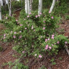 Rosa Woodsii- Woods Rose, sun/part shade, fragrant, Xeriscape Plants, Garden Plants, Tucson Sunset, Plum Garden, Texas Plants, Ground Cover Plants, Clay Soil, Water Wise, Woodland Garden