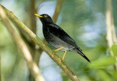 Foto sabiá-una (Turdus flavipes) por Gil Ribeiro Peres | Wiki Aves - A Enciclopédia das Aves do Brasil