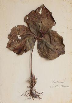 Trillium smallii