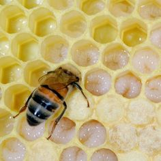 Forager bees bring back to the hive an average of six different pesticides on the pollen they collect.