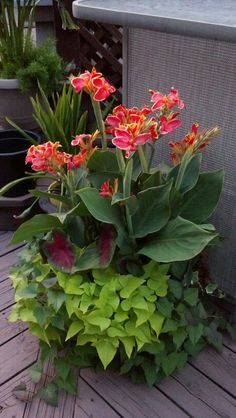 Canna lily, 2 varieties of sweet potato vine & caladium. Vigorous!