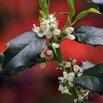 Ilex Aquifolium Plant - JC van Tol