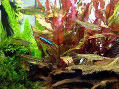 List of Tropical Fish for Freshwater Aquariums