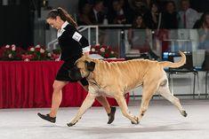 Mastiff Dog Breed Information Mastiff Dog Breeds, Akc Breeds, Mastiff Puppies For Sale, Health, Animals, Animales, Health Care, Animaux, Animal
