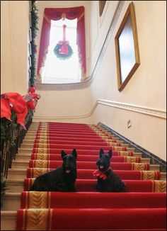 Barney and Miss Beazley sit on the Grand Staircase at the White House, Thursday, Nov, 30, 2006, deciding whether to begin touring the Christmas decorations upstairs or downstairs.