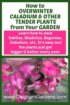 Learn How to Overwinter Tender Bulbs like Dahlias, Gladiolus, Begonias, Canna Lilies, Calla Lilies, Caladium and Elephant Ears. Plus, Learn How to Propagate and Overwinter Plants from your Garden like Ivy, Sweet Potato Vine, Coleus and many more. It's frugal gardening and it's Easy. #overwinterdahlias #overwinterbegonias Gladiolus Bulbs, Canna Lily, Potato Vines, Overwintering, Gardening Zones, Garden Journal, Garden Maintenance, Elephant Ears, Annual Flowers