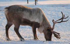 reno o caribú Polo Norte, Reno, Moose Art, Nature, Bow Braid, Animales, Beauty, Naturaleza, Nature Illustration