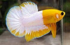 Colorful Fish, Tropical Fish, Freshwater Aquarium, Aquarium Fish, Betta Fish Types, Beta Fish, Beautiful Fish, Sea And Ocean, Goldfish