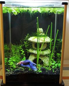 décoration aquarium betta