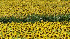 Fields of sunflowers in bloom in Tuscany Italy - it is sunflower season here in Maremma :)