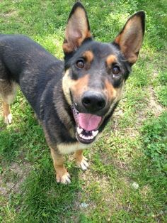 Meet Trooper - stray looking for his home, a Petfinder adoptable German Shepherd Dog Dog   Shelbyville, IN   Welcome to Petfinder!  I got a call yesterday seven minutes before we were closing for the day and...