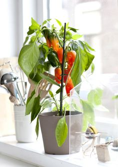 Grow your own seedlings in preparation for planting outside