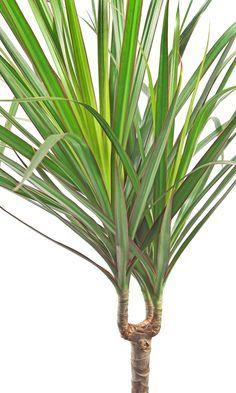 Le dracaena marginata, le végétal anti-tabac Dracaena Marginata, Plantation, Flowers, Plants, Purifier, Gardening, Culture, Decoration, Health