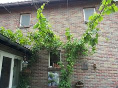 Druivenranken zonnebescherming