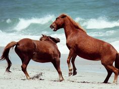 Wild ponies spar beachside at Assateague Island