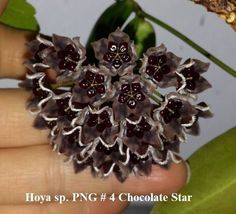 Just Sharing: Photo and hoya not mine: Hoya sp. PNG # 4 Chocolate Star