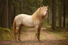 Evelina Törnqvist North Swedish Draft stallion