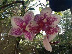 Minha orquídea!!!!2014