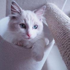@mary.ragdoll さんのネコちゃんをご紹介致しております Introducing a lovely cats🐈!Please 'Like' for this picture if you think its cute! #猫#ネコ#猫好き#ネコモ#読モ猫#モデル#ニャンスタグラマー#ニャンとも#猫愛#愛猫#読者モデル#猫グッズ#ちゅらねこ#gatosdeinstagram#instagato#catloversclub#cat_of_instagram#catsofworld#catstocker#고양이를사랑#귀여운고양이#cutecat#gato#고양이#kawaii#kater