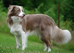 Lilac and white Border Collie